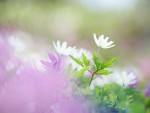 soft_focus_sweet_romantic_flowers_jk035_350a.jpg